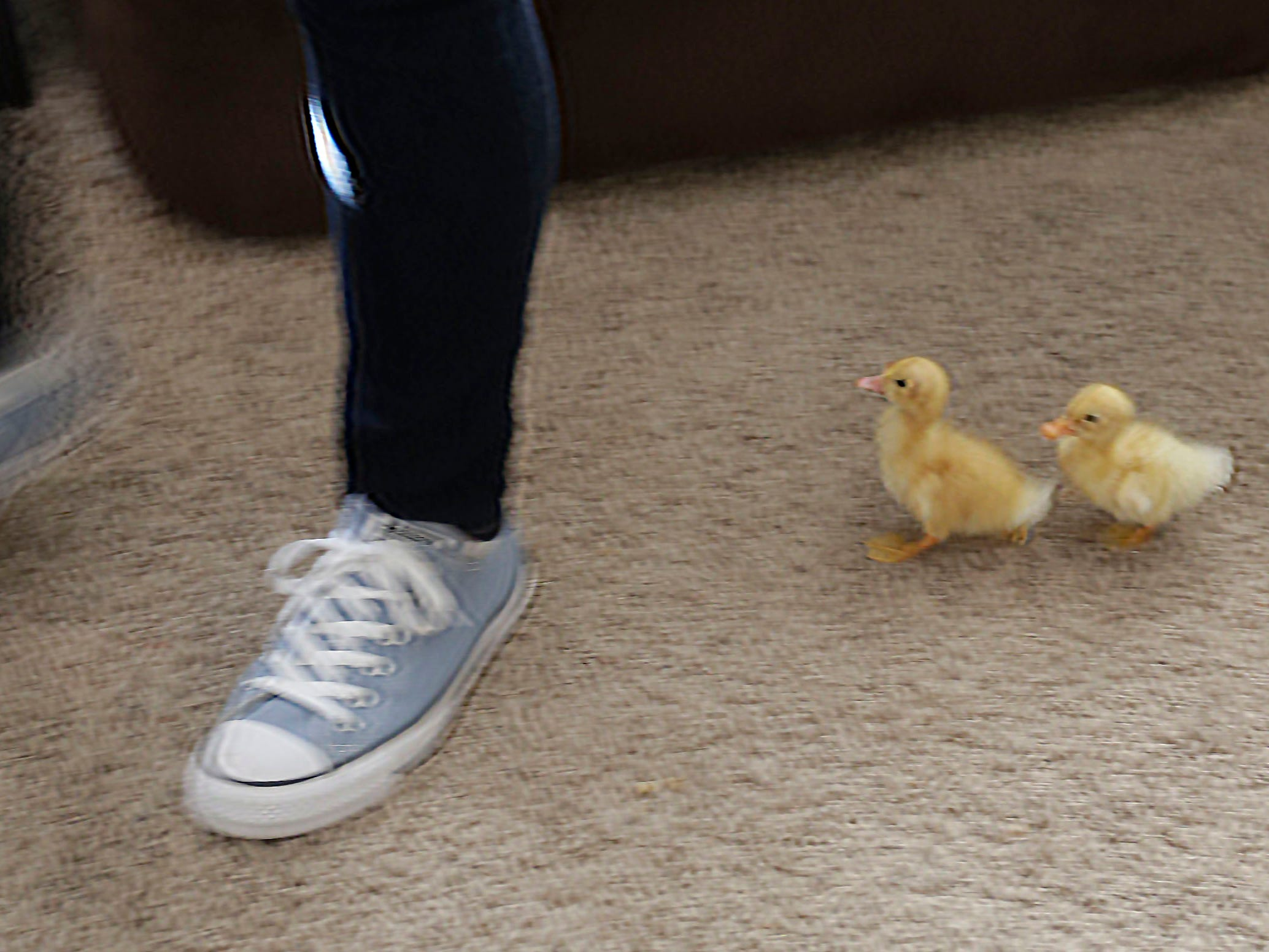 Ducklings Squeak, left, and Pip, follow owner Kelly Brotz as she walks in her living room, Wednesday, March 6, 2019, in Sheboygan, Wis.
