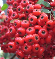 Firethorn or Tawain pyracantha is favorite of robins.