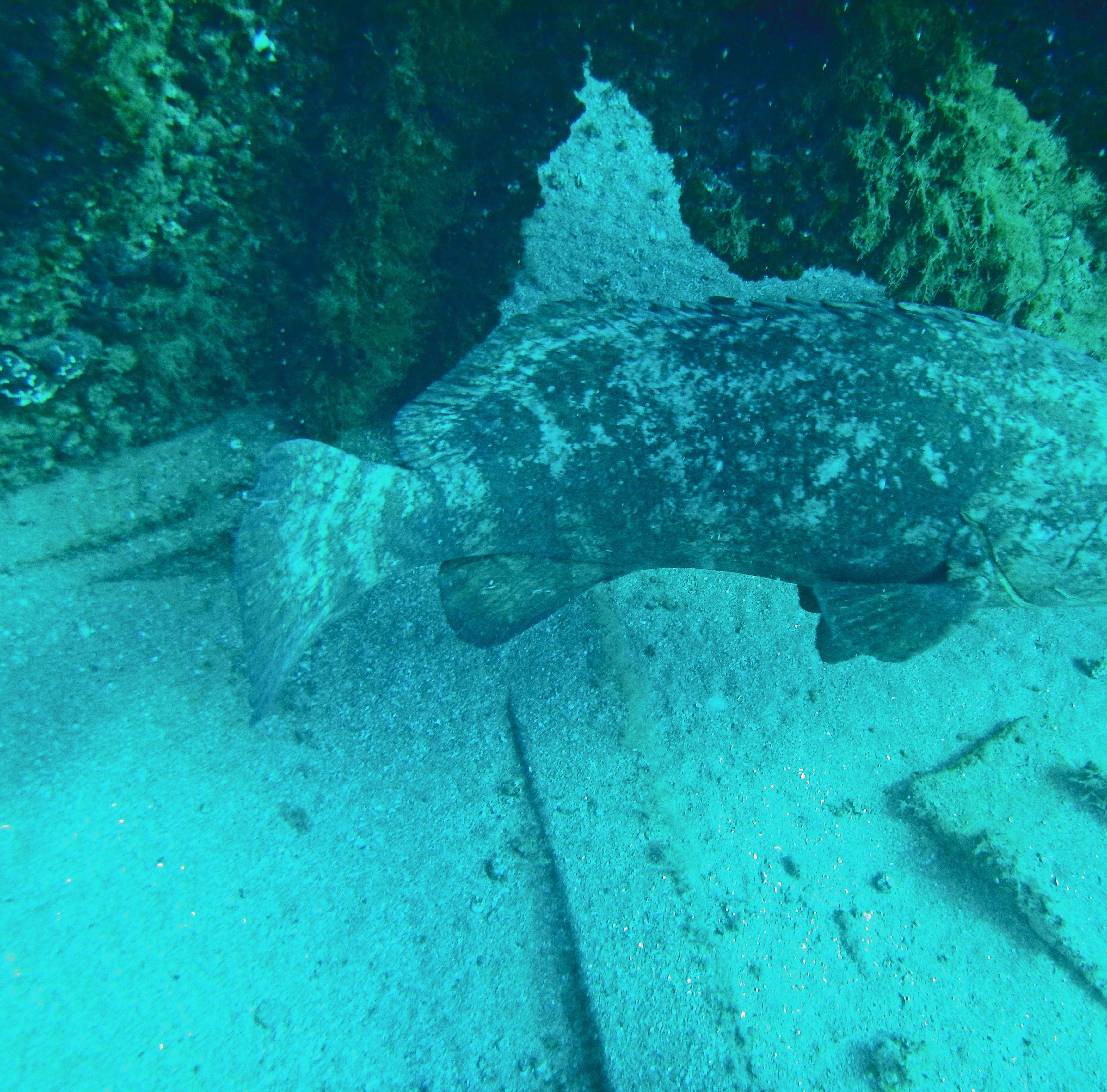 Goliath grouper 'guards' could serve as undersea sentinels protecting US waters