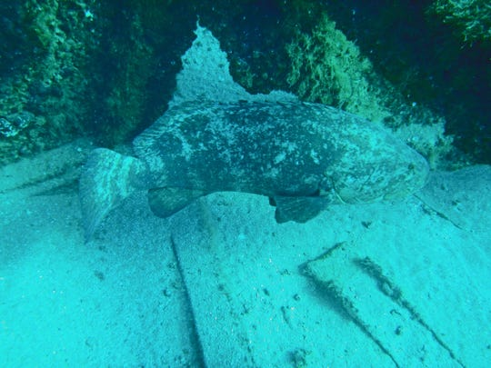 Goliath groupers, like this one near Jupiter, are being studied to determine if they can help in undersea military efforts.