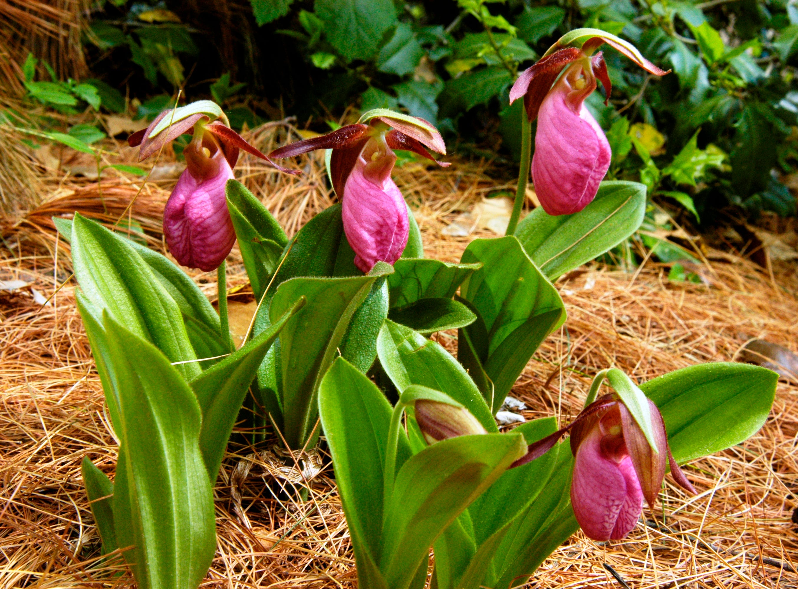 The Cypripedium acaule, commonly known as the pink lady's slipper orchid, is native to Delaware.