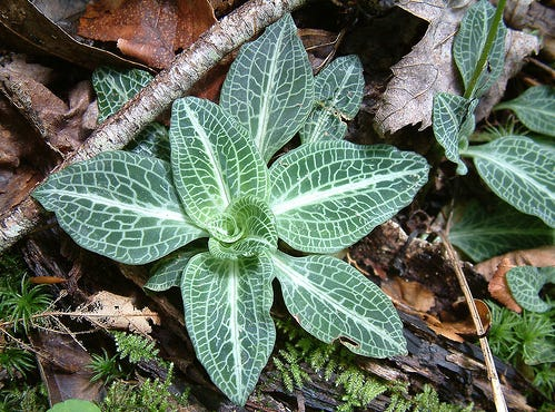 The Goodyera pubescens, also known as the downy rattlesnake plantain, is a native orchid in Delaware, and one that is easier to find in the winter because of its overwintering leaves.