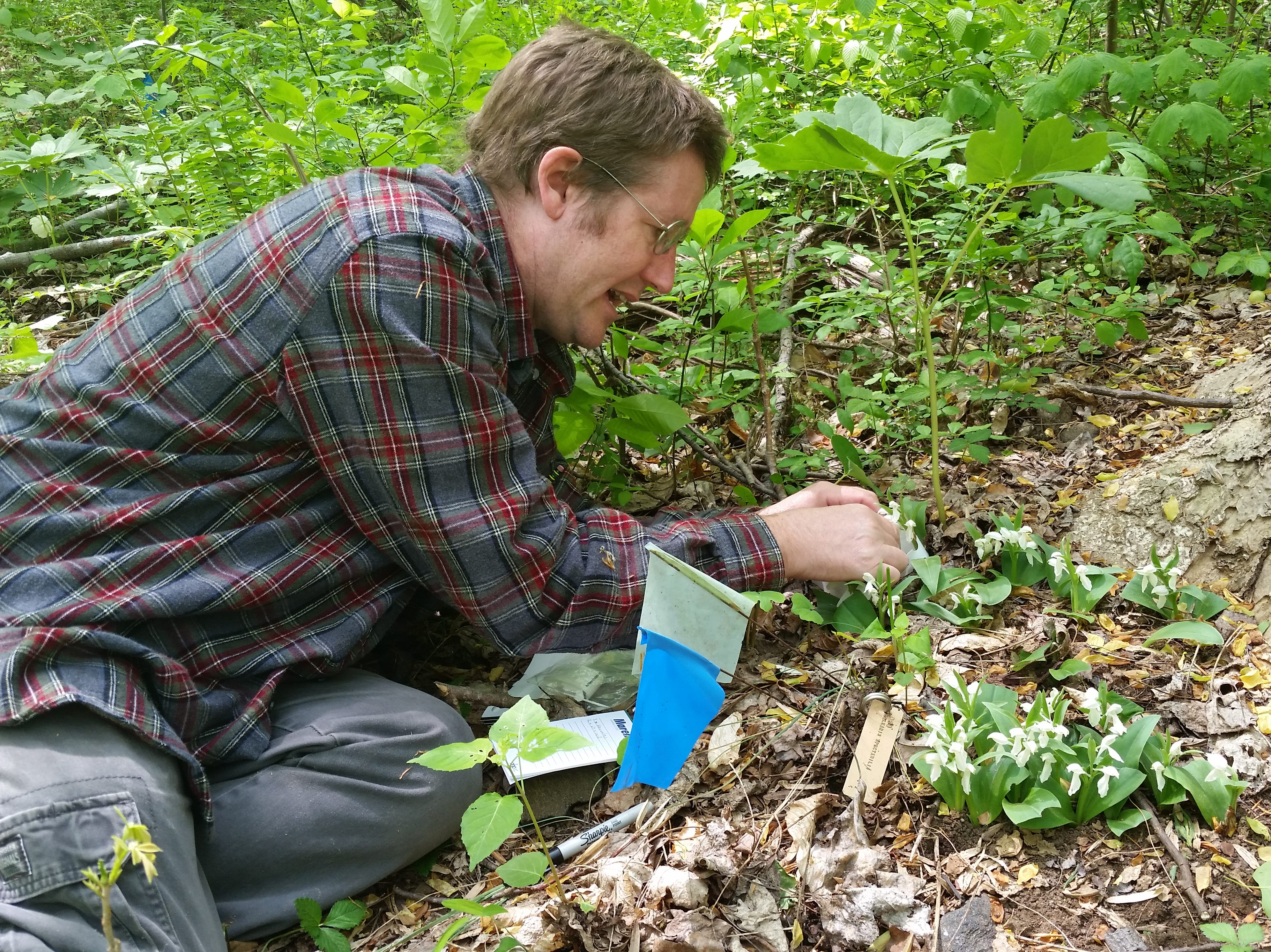 Stephen Pyne hand-pollinates Galearis orchids.