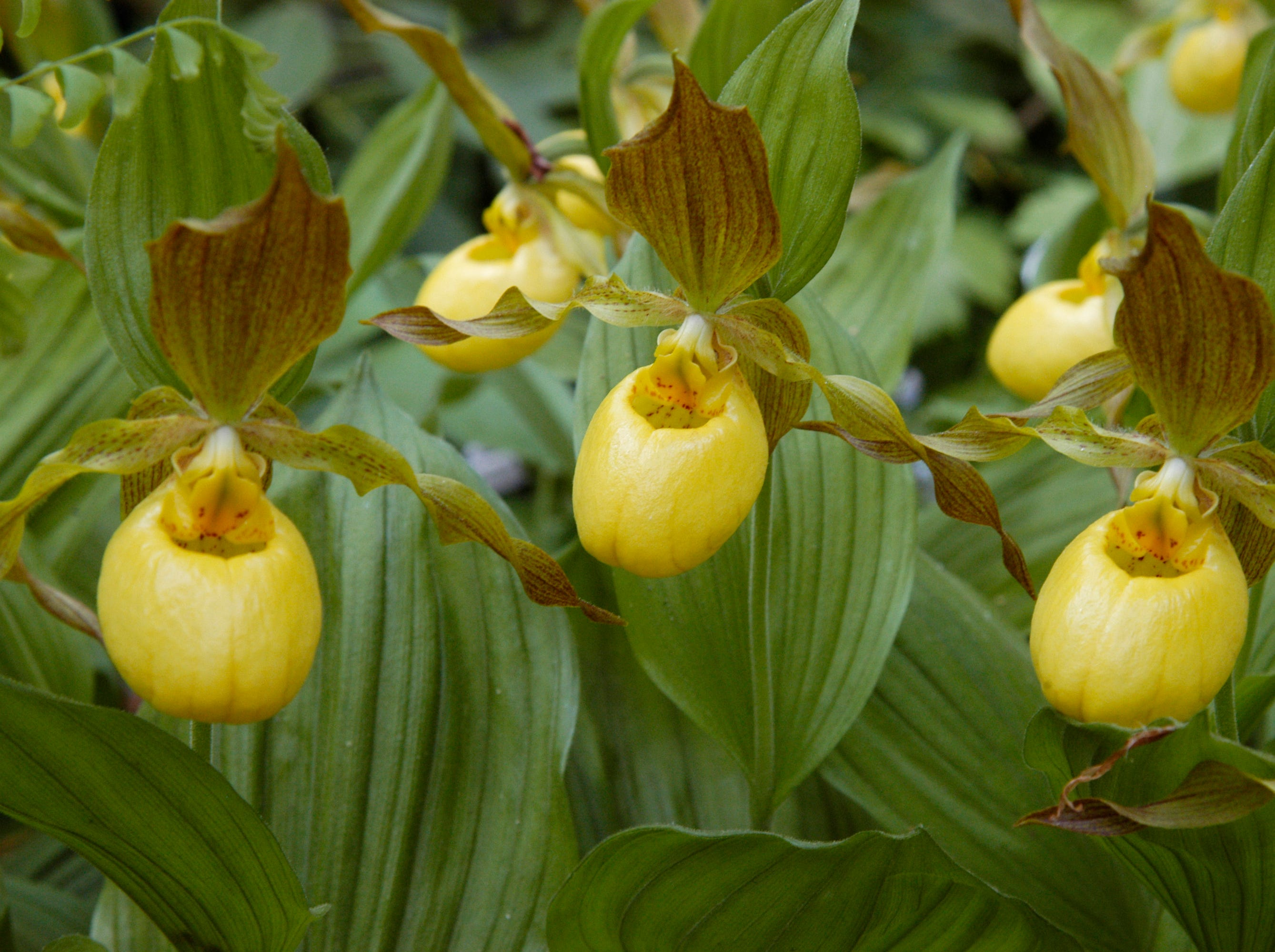 The Cypripedium parviflorum, or yellow lady's slipper orchid, is a rare species of orchid in Delaware.