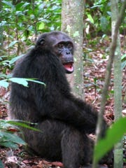 A male chimpanzee in Loango National Park in Gabon.