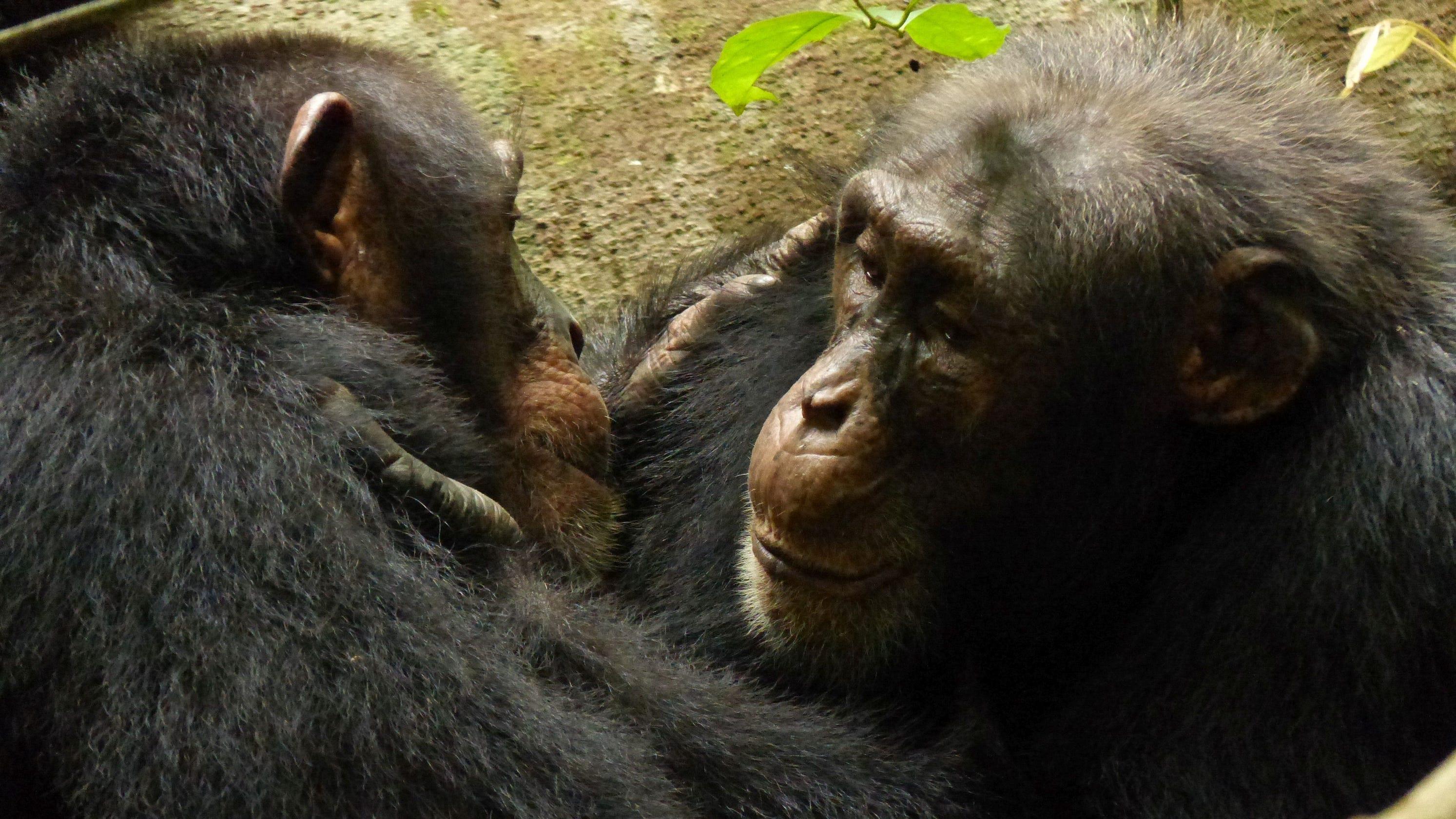 C For Chimpanzee Chimps culture ...