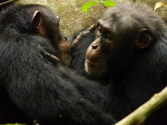 Two adult males groom each other in the Tai National Park in the Ivory Coast.