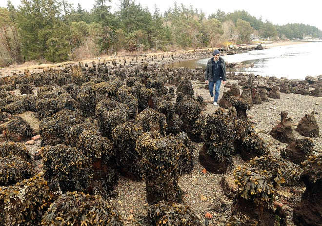 Jon Mooallem wanders among the piling remnants during low tide on the shore of Bainbridge Island's Blakely Harbor Park on Thursday, March 7, 2019. Mooallem has created a podcast recording his walks on the island.