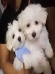 Jake and his brother Sparky, a pair of Maltese puppies owned by a woman in Illinois who claims Jake was stolen from her before turning up in Clarksville.