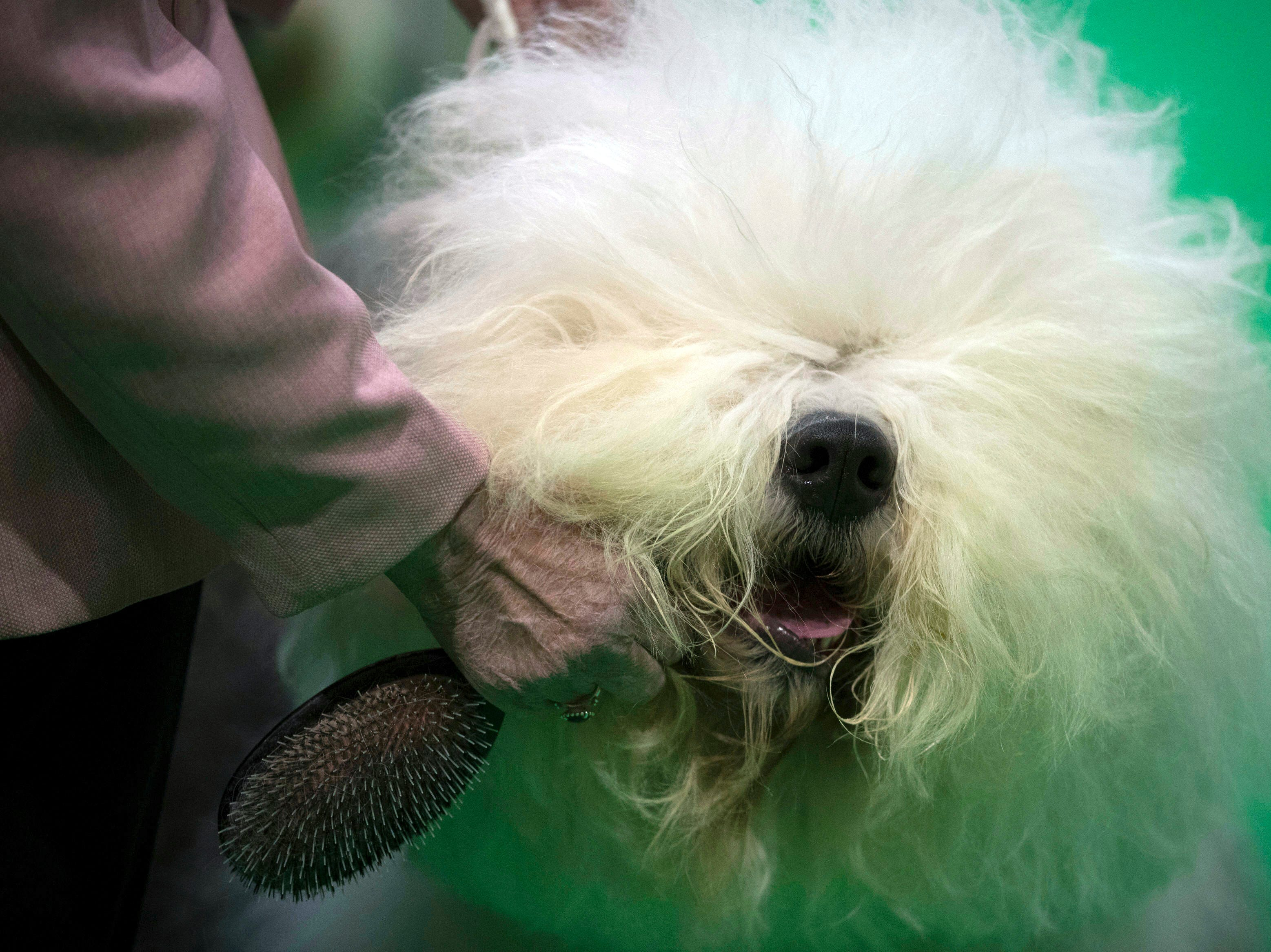 An old English sheep dog is groomed at the Birmingham National Exhibition Centre on the second day of the Crufts Dog Show in Birmingham, England, Friday, March 8, 2019.
