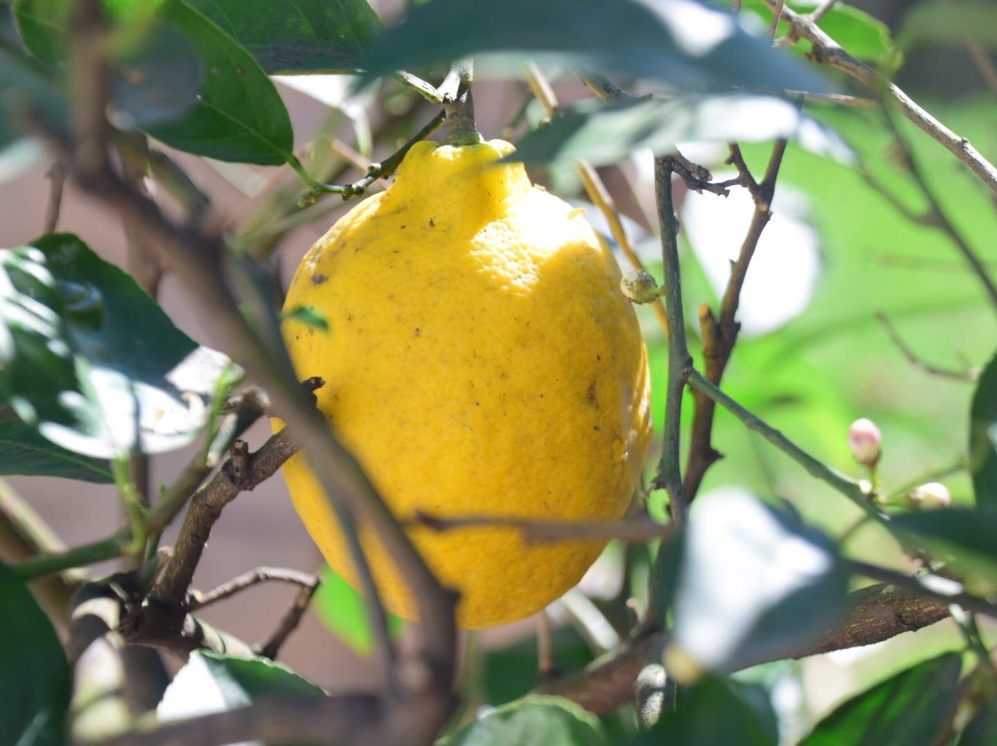 Roger Kane's lemons grow year 'round at his garage greenhouse.