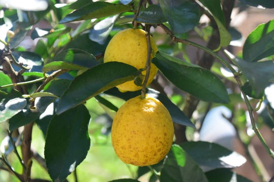 They look like lemons, but they're actually limes ready for the picking.