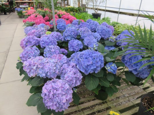 Hydrangea plants are among the more popular greenery sold at Ellenburg Landscaping & Nursery.