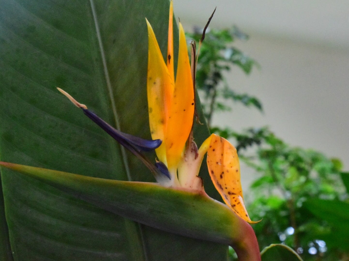 A Bird of Paradise is an unusual plant because it sends up multiple flowers from the same pod.