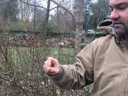 These roses are native varieties. In winter, Mark Campen harvests seeds from the rose hips to create more flower borders.