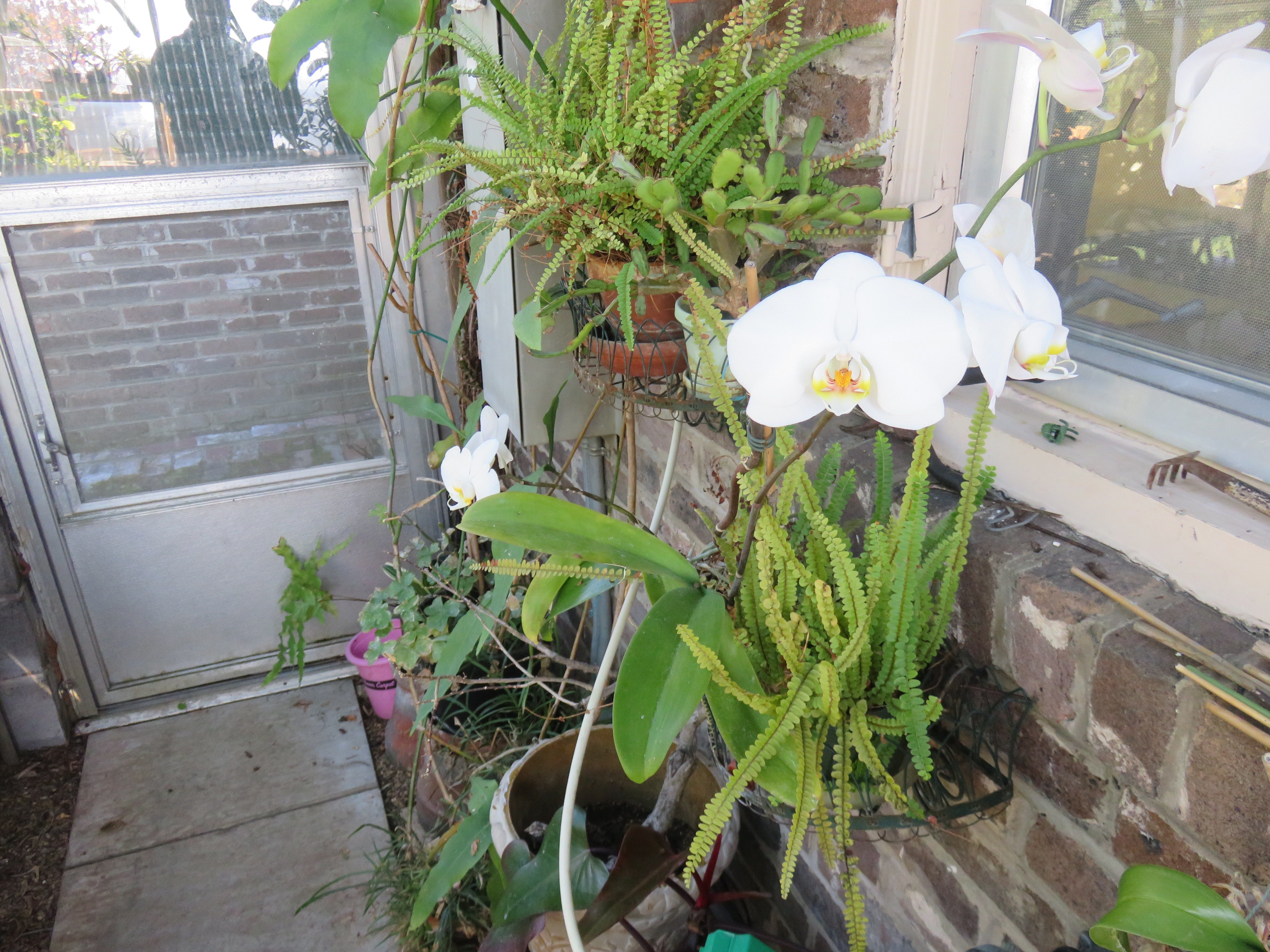 Orchid blooms in small greenhouse adjoining former Cowan Rodgers home.