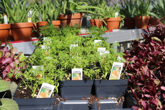 Frost-tolerant vegetables such as beets and carrots can be planted outside in late March and early April.