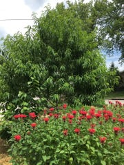 Mark Campen fills his yard with native plants such as scarlet monarda – bee balm – shown growing with hazelnut and peach trees.