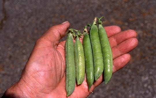 Plant garden peas this month to produce fresh peas for picking in June. As a cool season vegetable, they like cool spring temperatures.