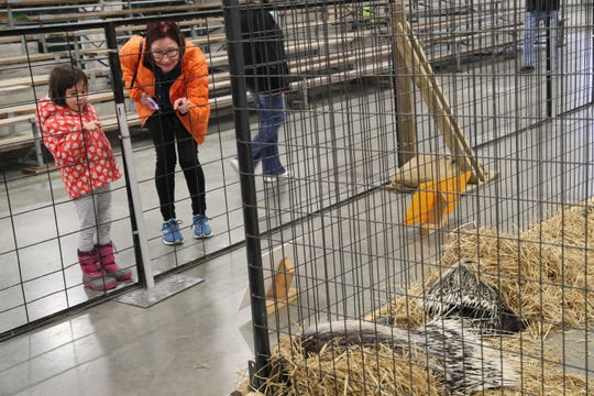Deb Dwyer of Shorewood and her grandaughter, Emmanuelle, 5, look at a pair of African crested porcupines on display at the Wild World of Animals display at the Journal Sentinel Sports Show.