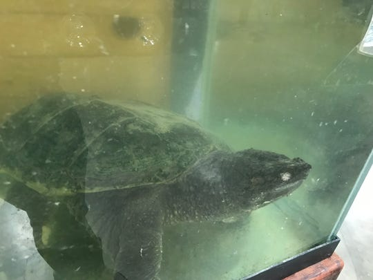 A giant snapping turtle is on display at the Journal Sentinel Sports Show