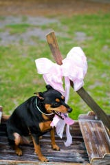 Marley, a Miniature Pinscher, is one of two rescued dogs that belong to Assistant State Attorney Cierra Burns.