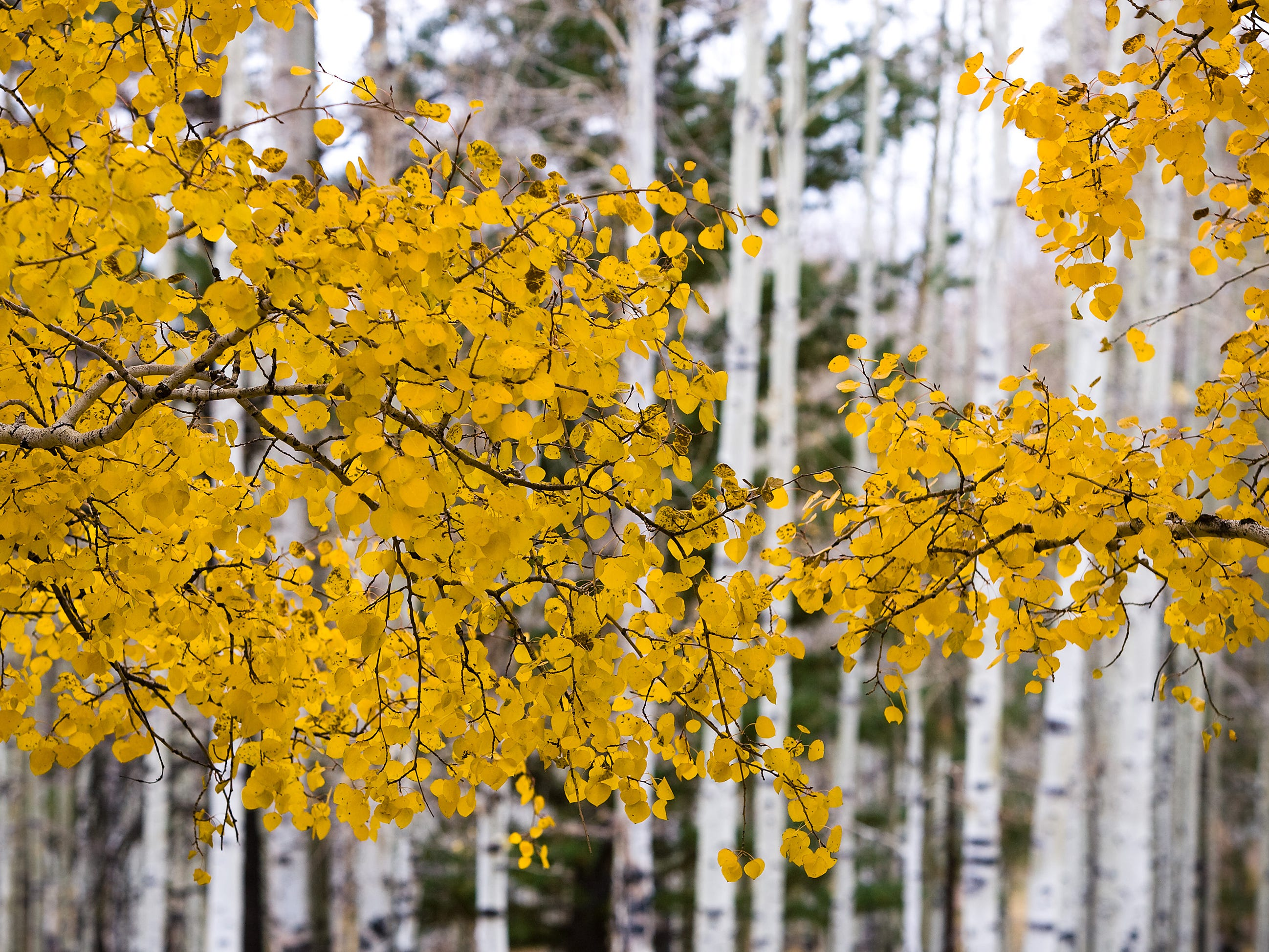 A few trees with fall colors remain off of Forest Road 151 (Hart Prairie Road) in Flagstaff on Thursday, October 22, 2009.