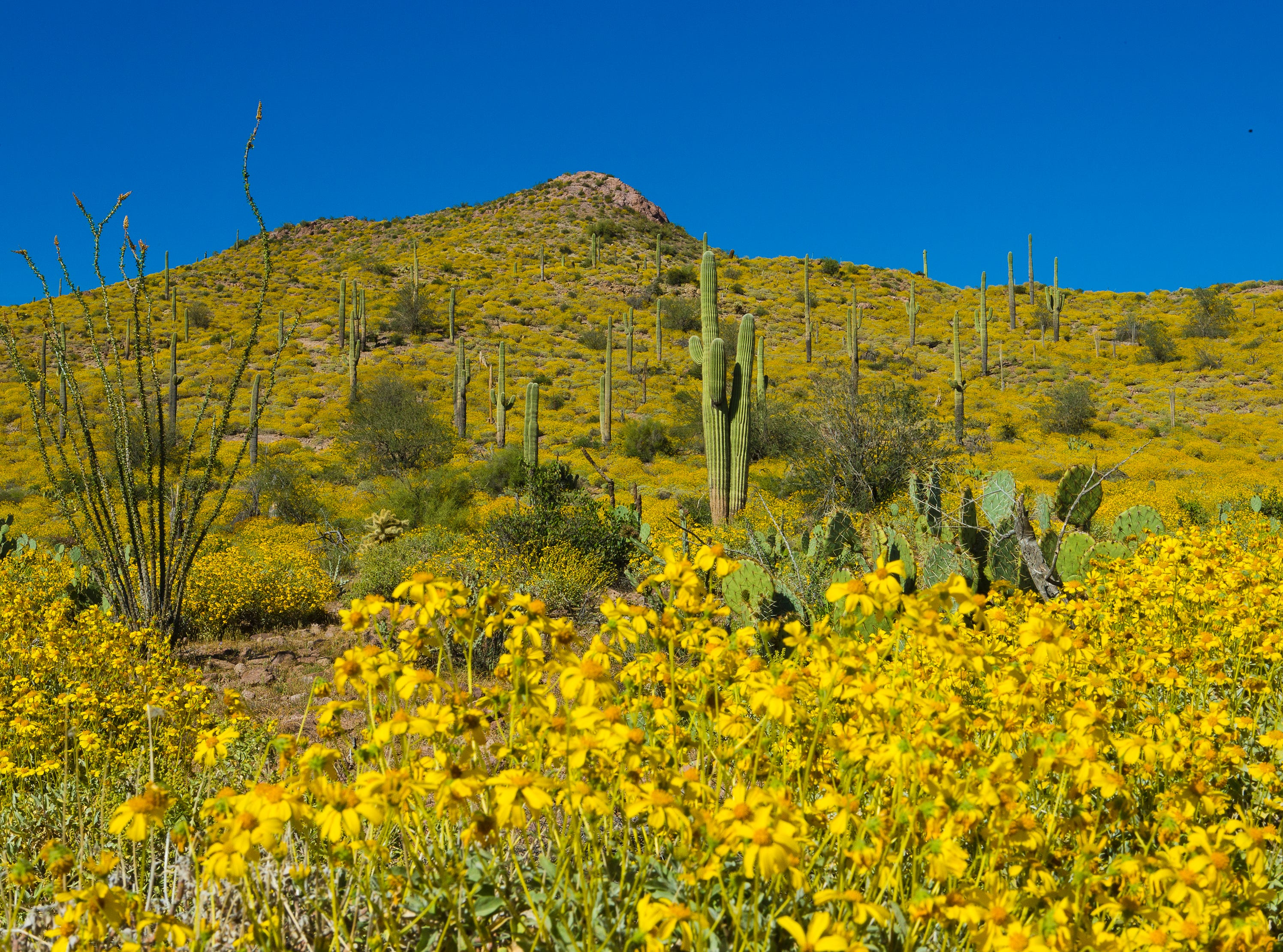 Wildflowers cover a desert hillside near Bulldog Canyon in the Tonto National Forest, north of Apache Junction March 31, 2013. Abundant winter rains brought out the spring colors off Hwy. 88.
