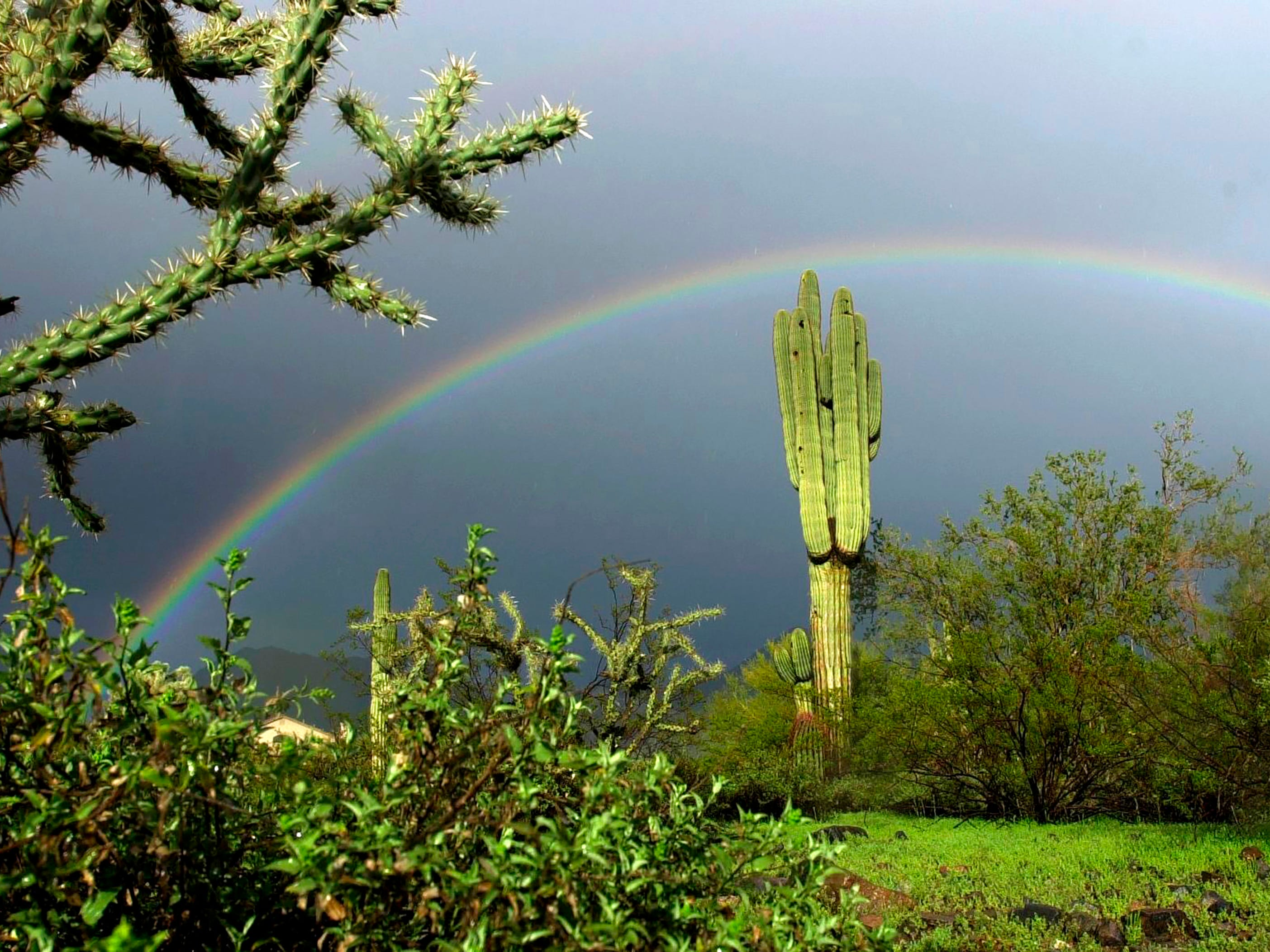 A full rainbow arches over a saguaro cactus in the Scottsdale desert after a rain showers.