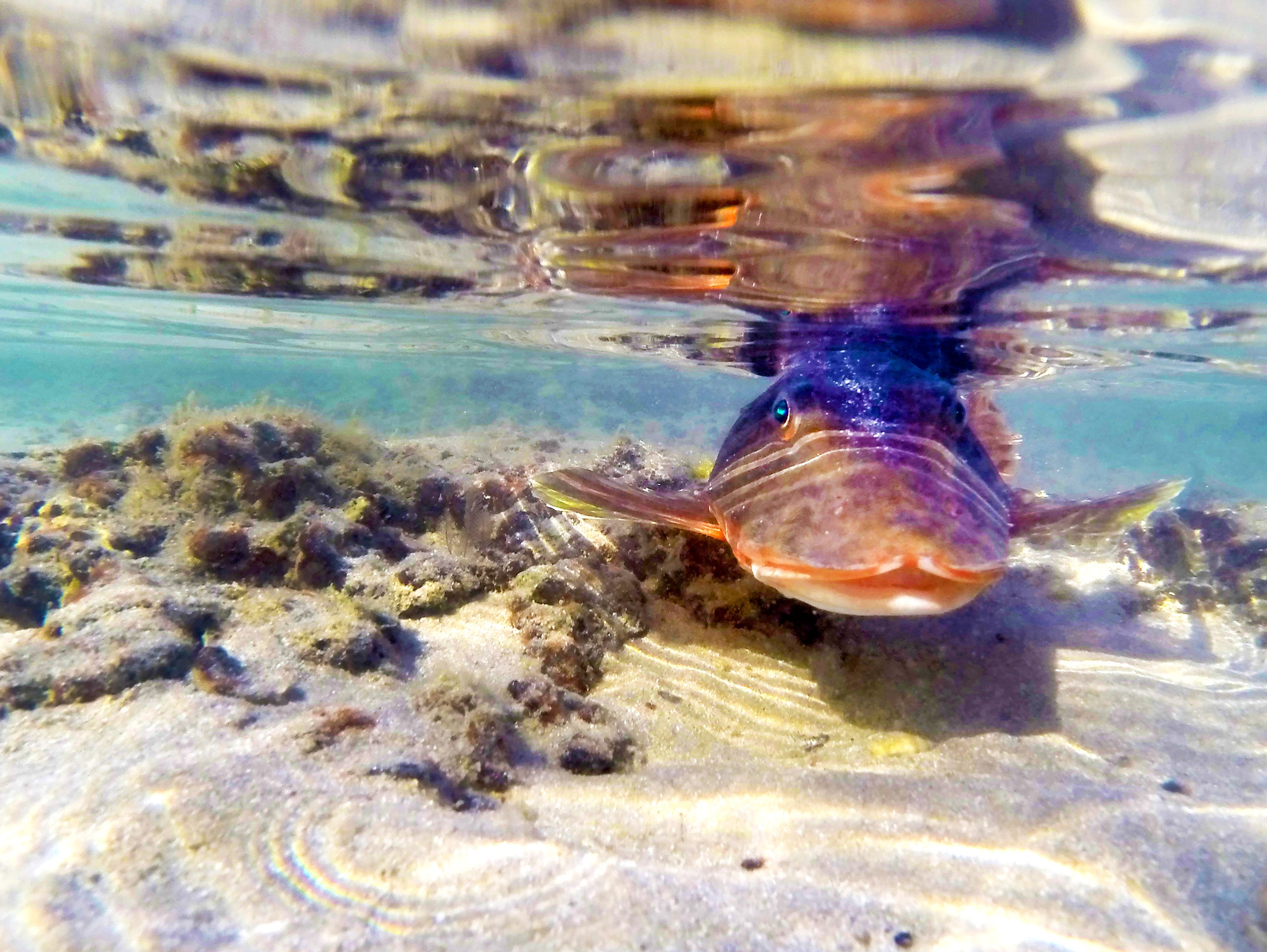 A fish floats in low tide at Sandy Beach in Puerto Penasco, Mexico.