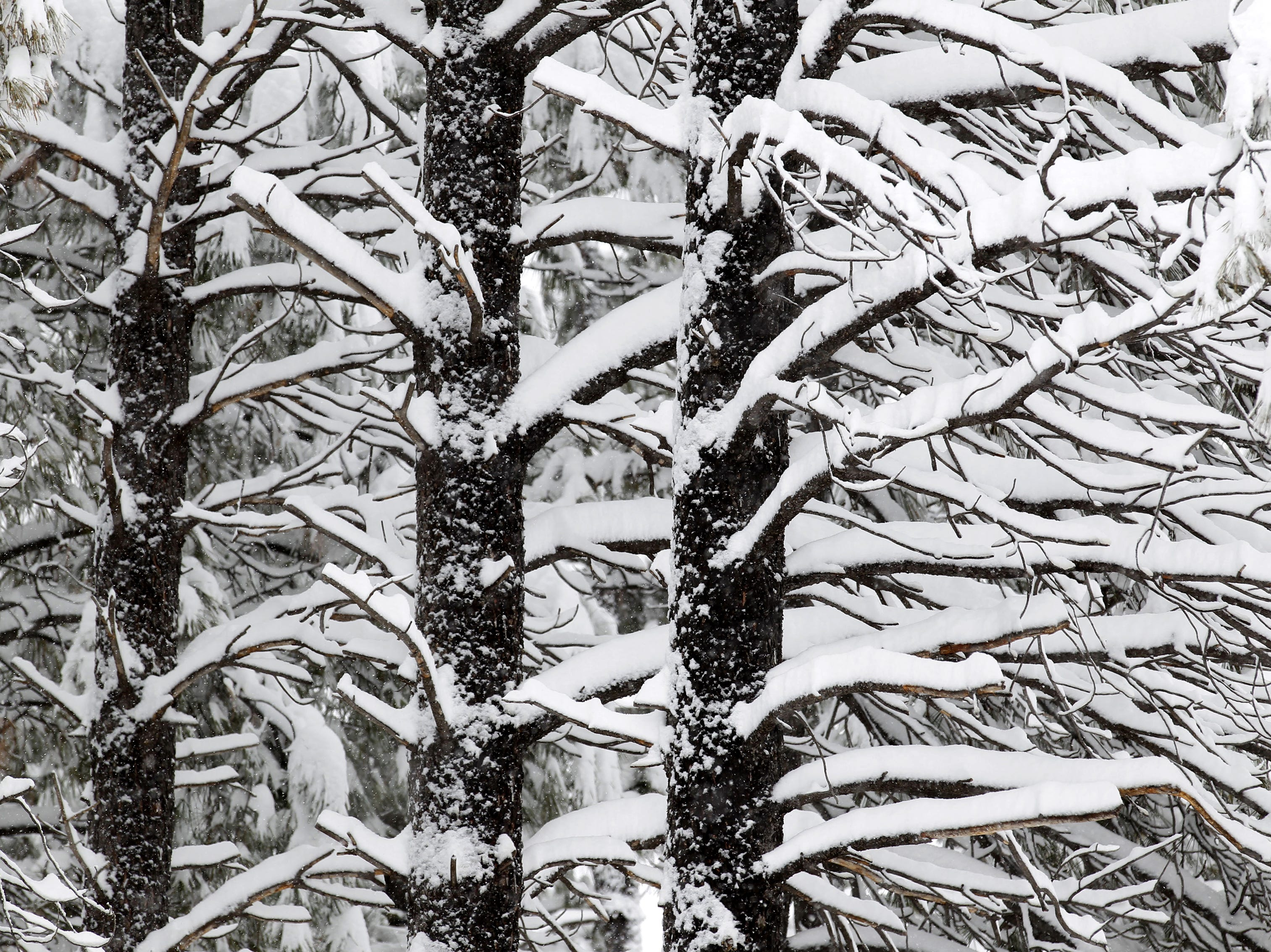 Pine trees are weighted down with heavy snow as a winter storm hits Flagstaff, AZ.