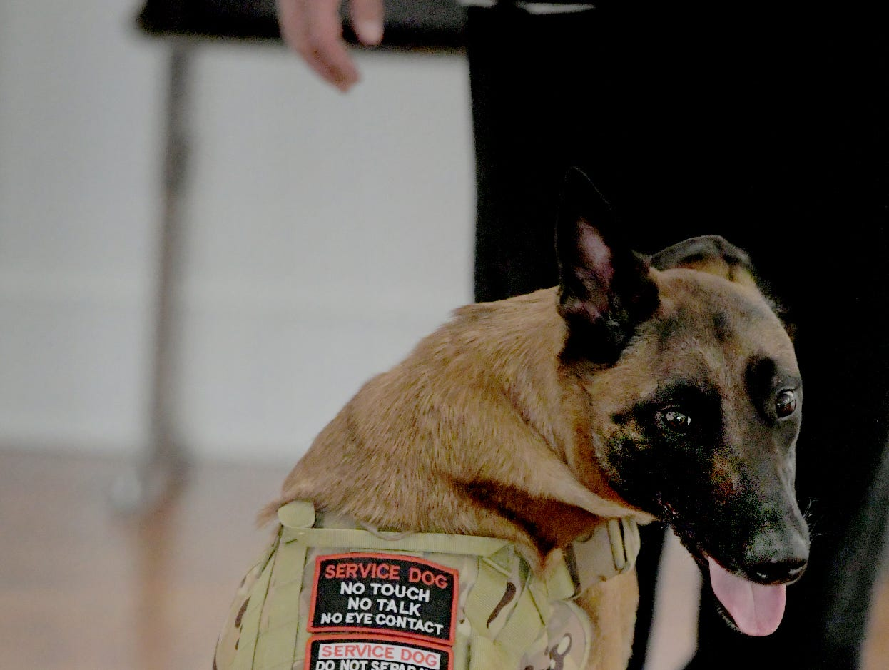 Maxine, a Belgian Malinois, wears a service dog vest while being trained by owner Robert McCready Jr., of Camp Hill, during a training session at Trinity Lutheran Church in East Berlin on Thursday, March 7, 2019. The two were participating in a session offered by Cover Six Canines, a ministry of Freedom Biker Church York, which gives free service dog training to veterans. Bill Kalina photo