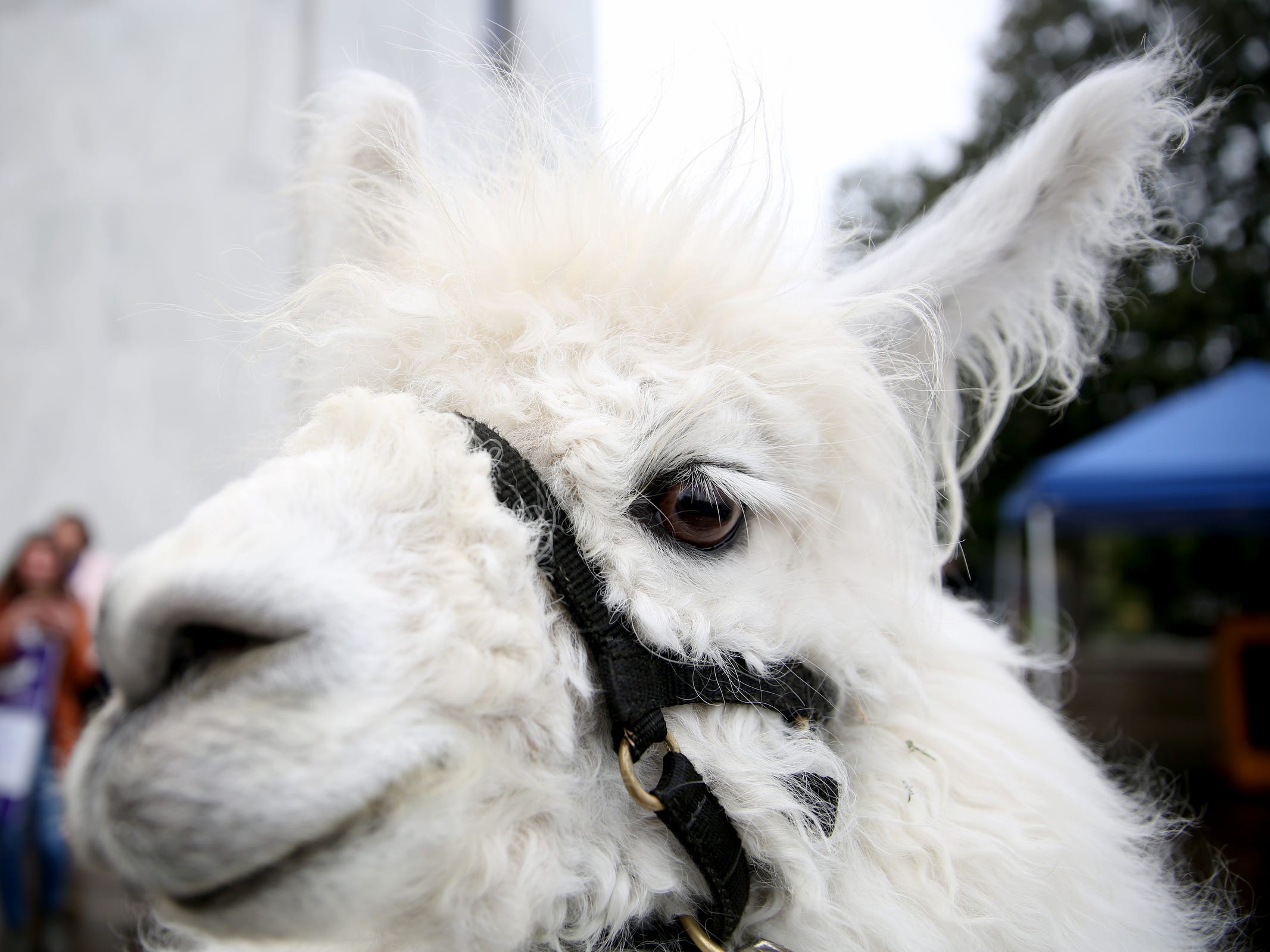 Caesar The No Drama Llama makes an appearance during a demonstration for International Women's Day at the Oregon State Capitol in Salem on Friday, March 8, 2019. Many during the rally voiced their support for a state-run family and medical leave insurance program in Oregon.