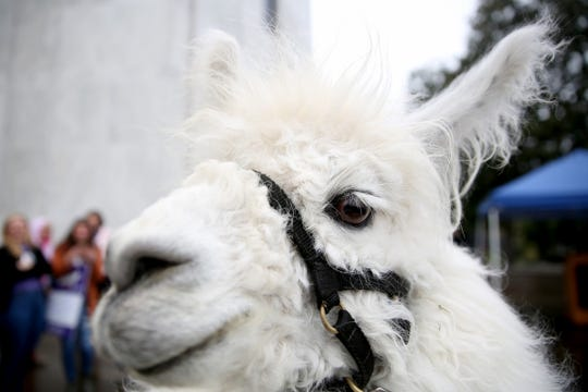Caesar The No Drama Llama makes an appearance during a demonstration for International Women's Day at the Oregon State Capitol in Salem on March 8, 2019.