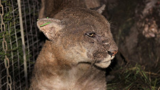 This 3-year-old mountain lion, P-53, was recaptured and treated for mange.