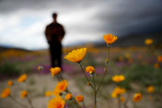 "In this Wednesday, March 6, 2019, photo, a man looks on amid wildflowers in bloom near Borrego Springs, Calif. Two years after steady rains sparked seeds dormant for decades under the desert floor to burst open and produce a spectacular display dubbed the ""super bloom,"" another winter soaking this year is shaping up to be possibly even better."