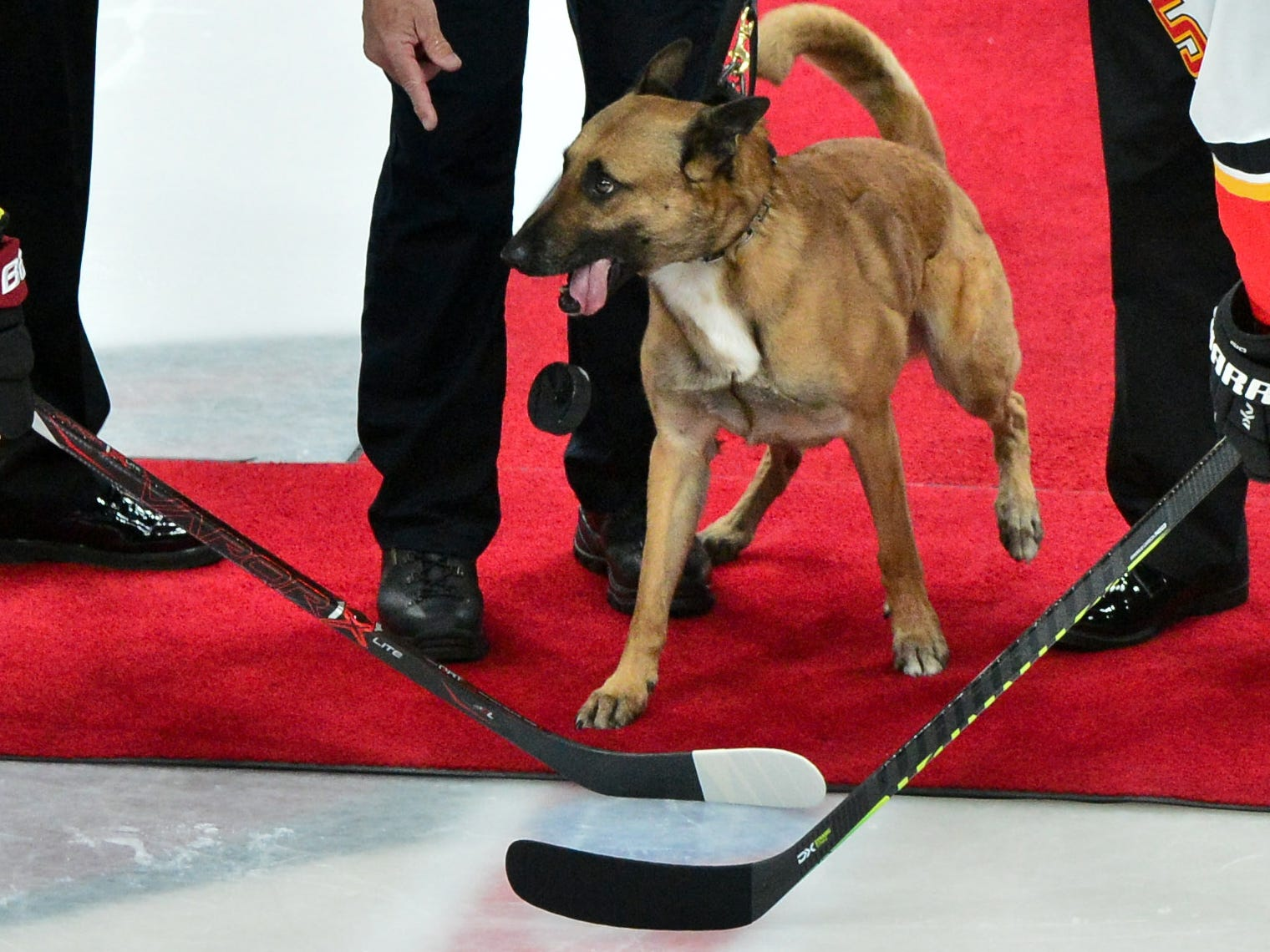 March 7: K-9 Fury drops the puck for Arizona defenseman Oliver Ekman-Larsson (23) and Calgary defenseman Mark Giordano (5) ahead of the Coyotes game against the Flames.