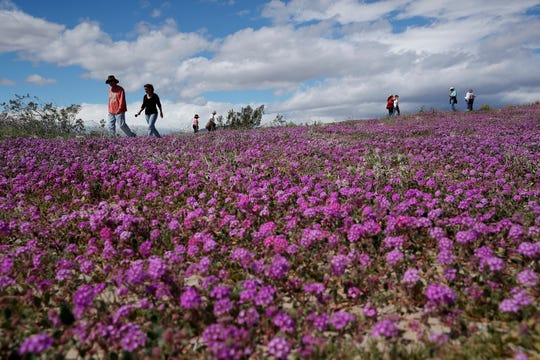 "In this Wednesday, March 6, 2019, photo, people walk among wildflowers in bloom near Borrego Springs, Calif. Two years after steady rains sparked seeds dormant for decades under the desert floor to burst open and produce a spectacular display dubbed the ""super bloom,"" another winter soaking this year is shaping up to be possibly even better."
