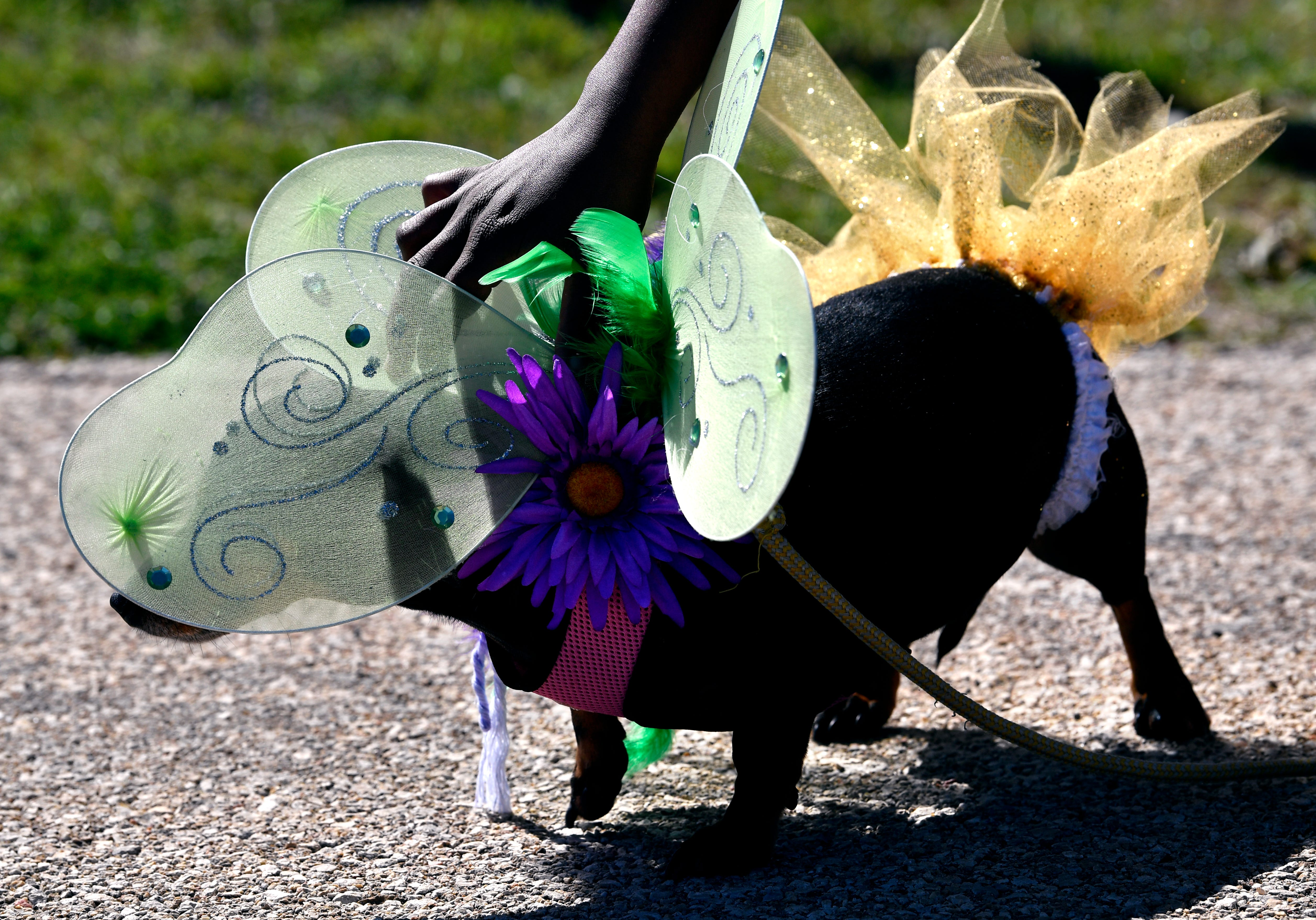 Lecrisha Govan adjusts the costume on her nine-year-old dachshund mix, Shaughnessy, during Saturday's Krewe of Barkus dog parade. Shaughnessy and Govan's other dog Lady were named co-queens at the Camp Barkeley dog park.