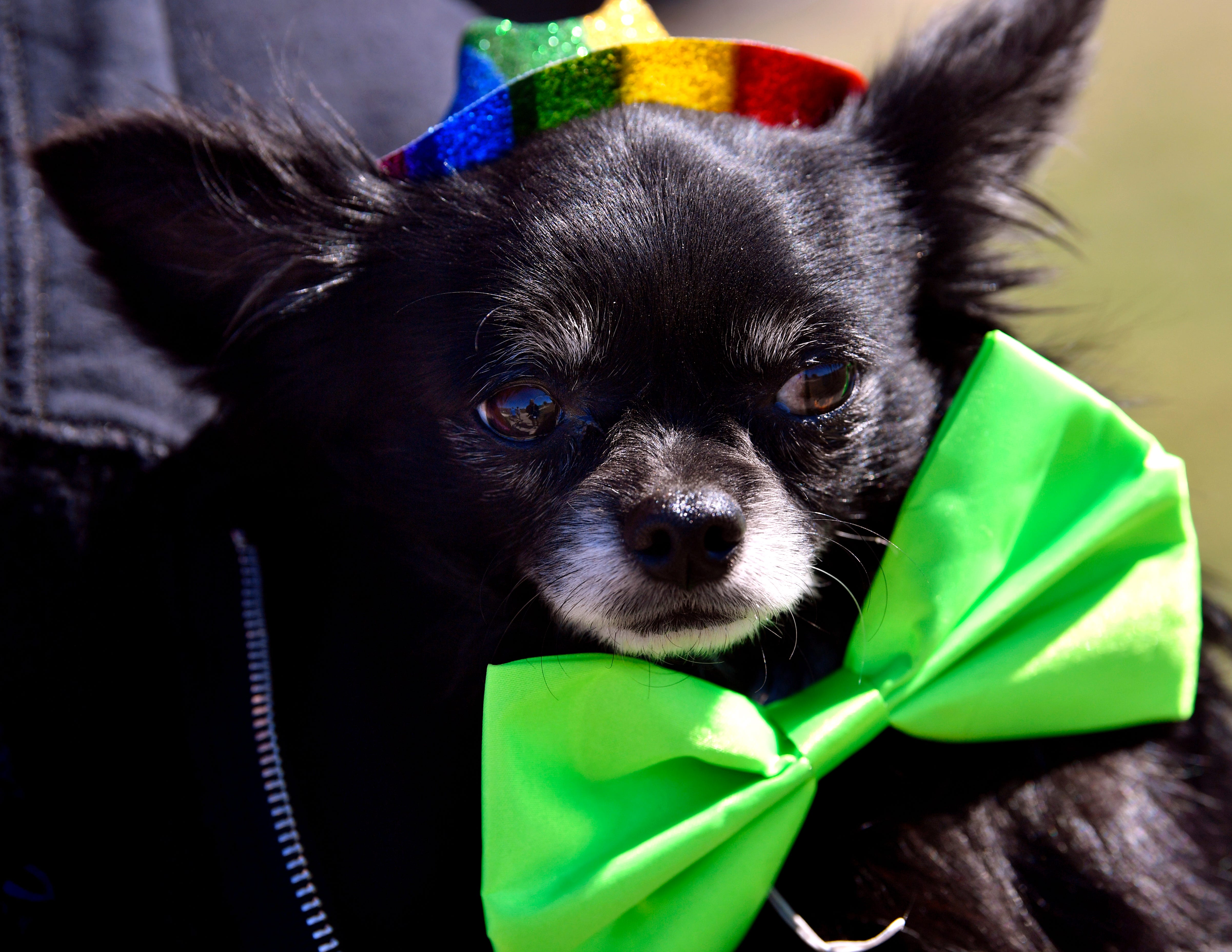 Jennifer Blackshear holds her long-haired chihuahua named Socrates before the start of Saturday's Krewe of Barkus at the Camp Barkeley dog park. Socrates won the award for wearing the most green in the Mardi Gras-themed dog parade.