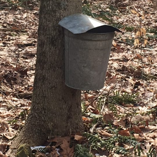 Buckets hang on maple trees at Malabar Farm State Park on Saturday.