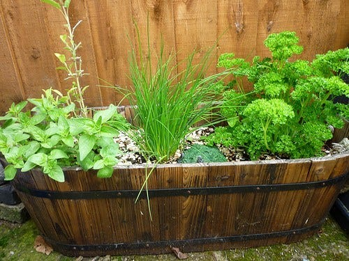 Many of the popular, commonly used herbs are easy to grow, and are well adapted to the local climate.