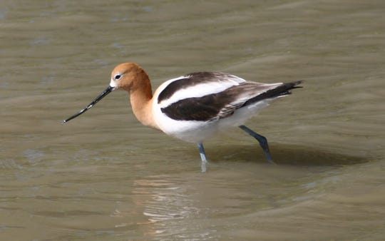 The American avocet's bill curves upward—more-so on the females, and they can be seen on many waterways in the Lone Star State.
