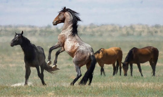 In this July 18, 2018, file photo, a wild horse jumps among others near Salt Lake City. Federal officials are rounding up horses throughout Nevada, saying the herds are too plentiful to survive with limited grazing and water.