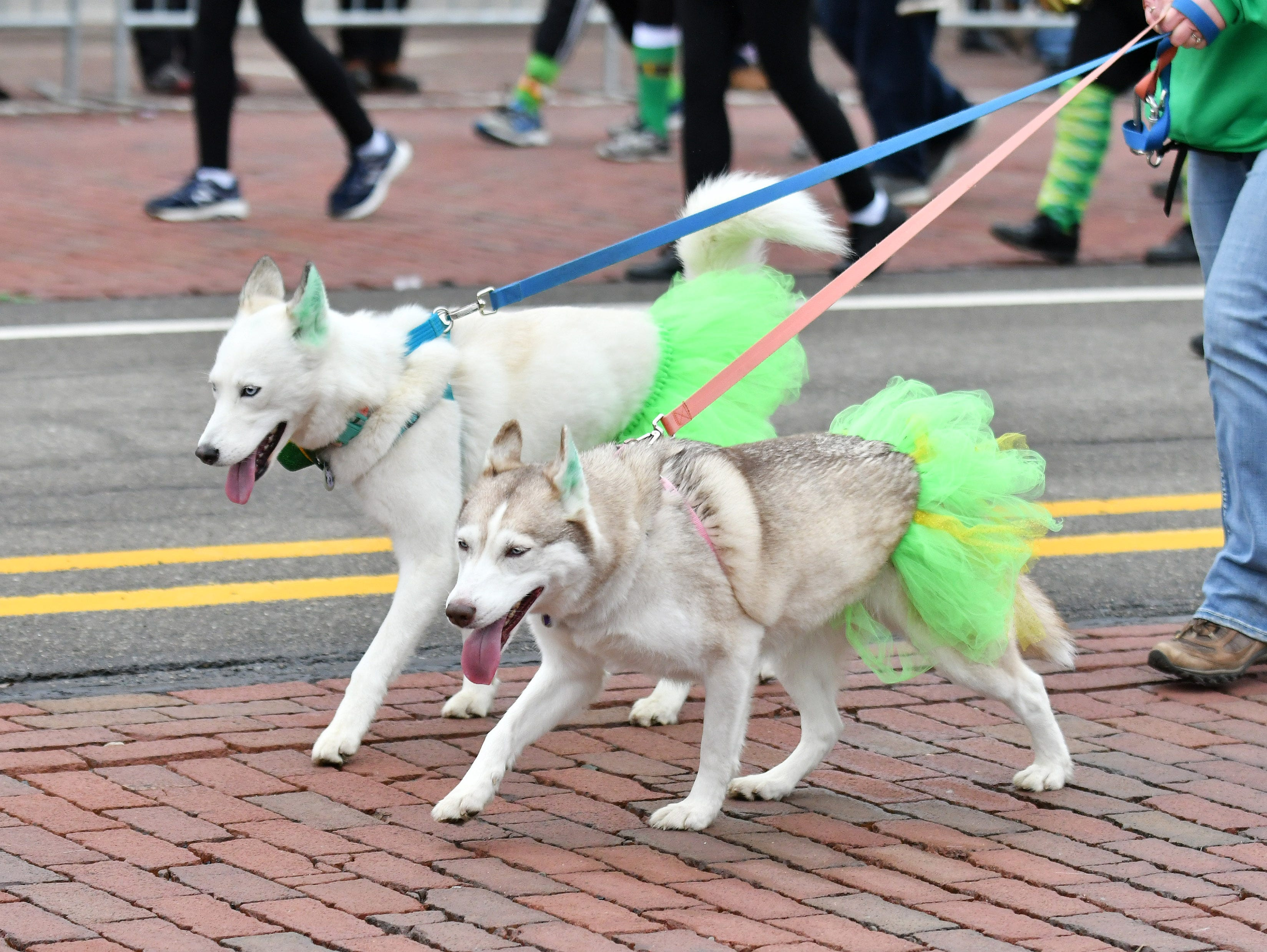 Dogs walk with the Hairy Houdini Siberian Husky Rescue group.