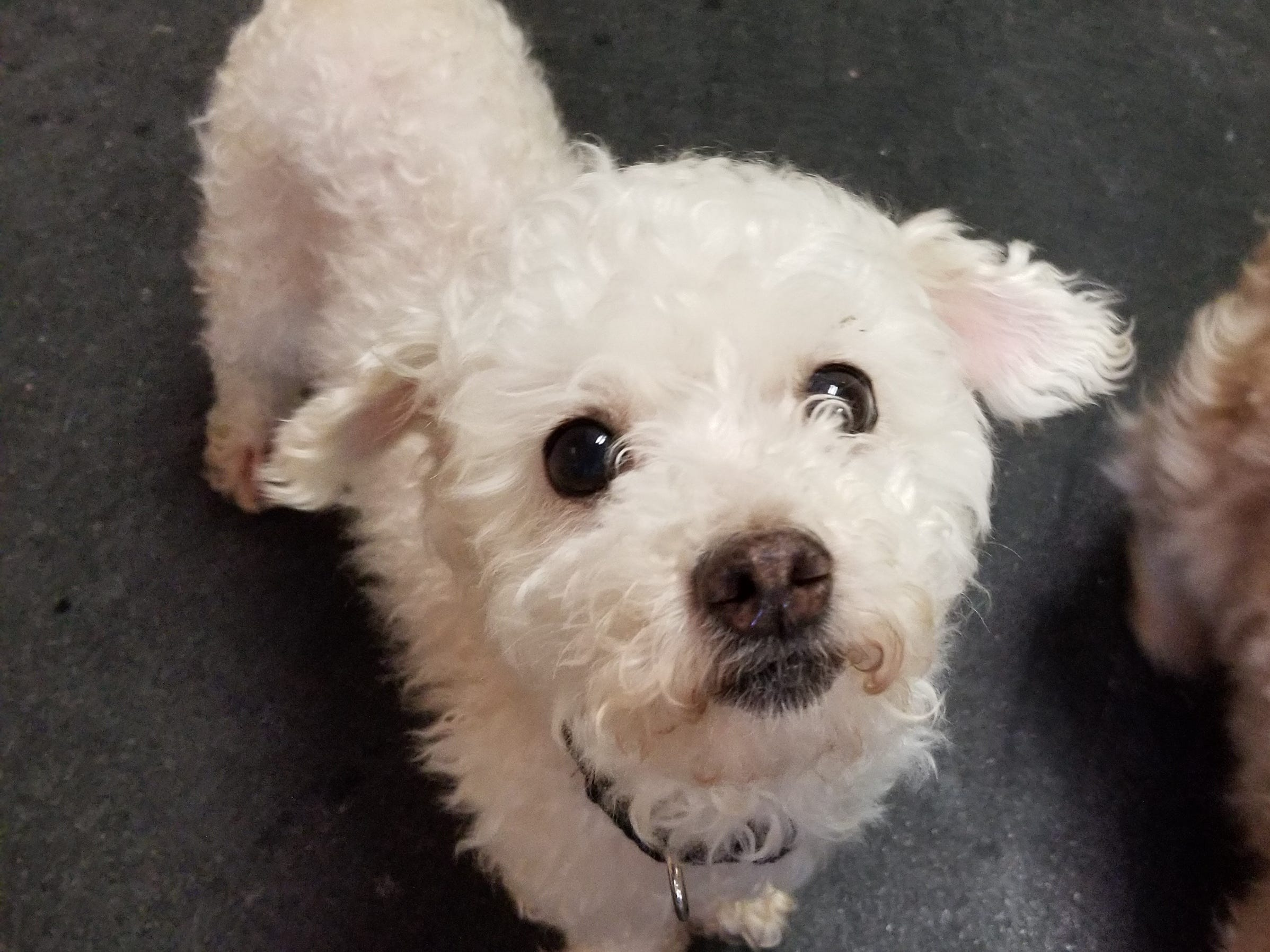 An 8-year-old miniature poodle mix, Mica is playful and excited to find her forever home. She is spayed.