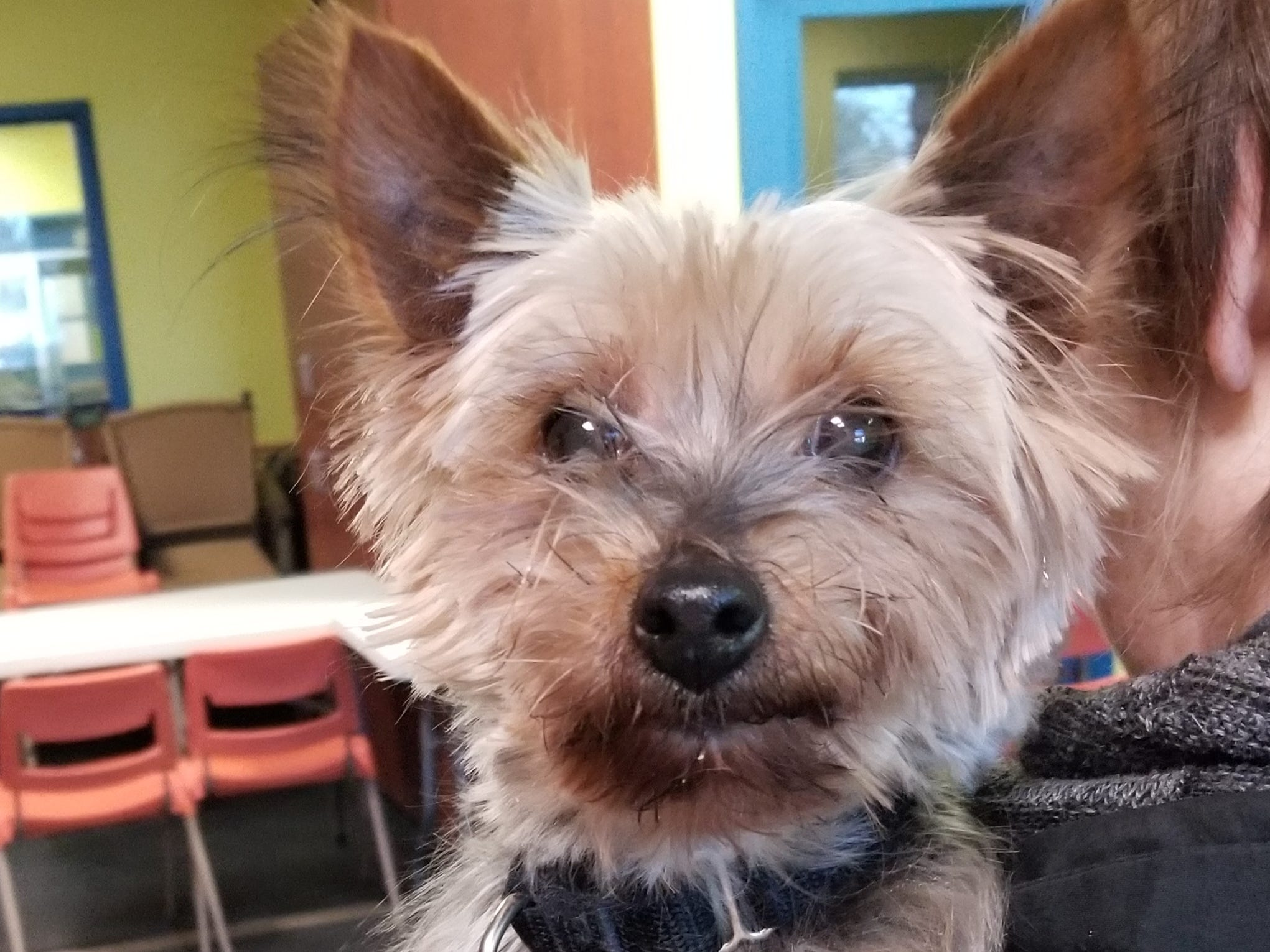 Hilda, a 9-year-old Yorkshire terrier mix, has a lot of energy and love to give. She is spayed.