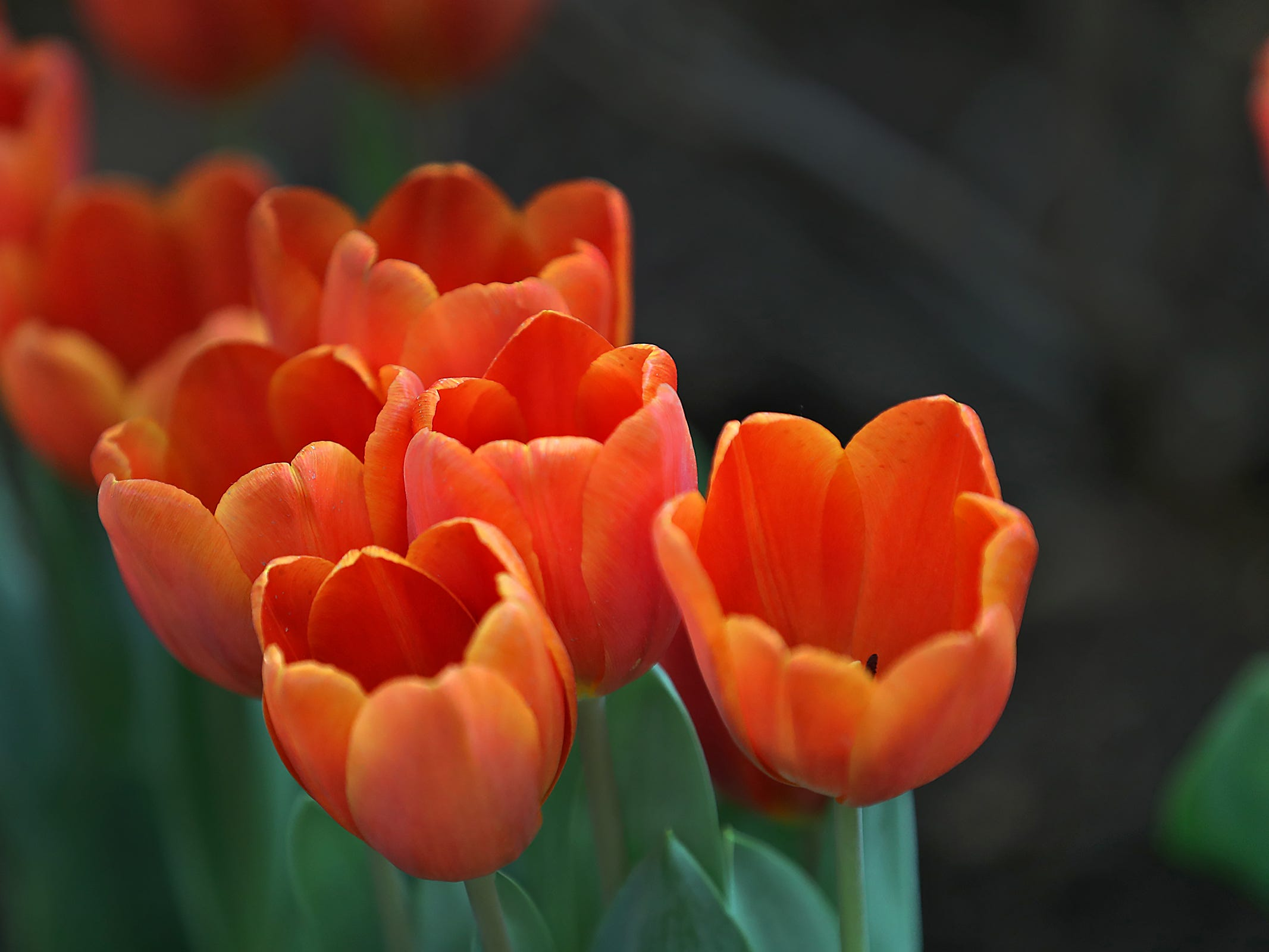 Tulips add color as they open up at the Indiana Flower + Patio Show, at the Indiana State Fairgrounds, Sunday, March 10, 2019.