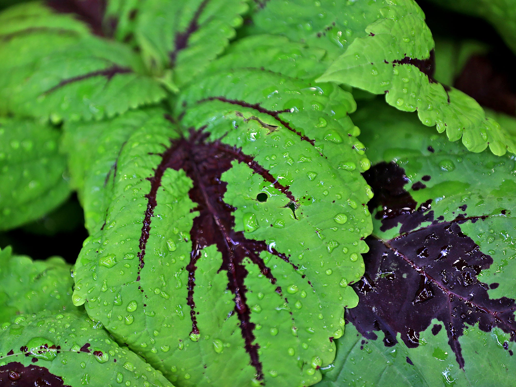 Water droplets bead on the leaves of this plant at the Indiana Flower + Patio Show, at the Indiana State Fairgrounds, Sunday, March 10, 2019.