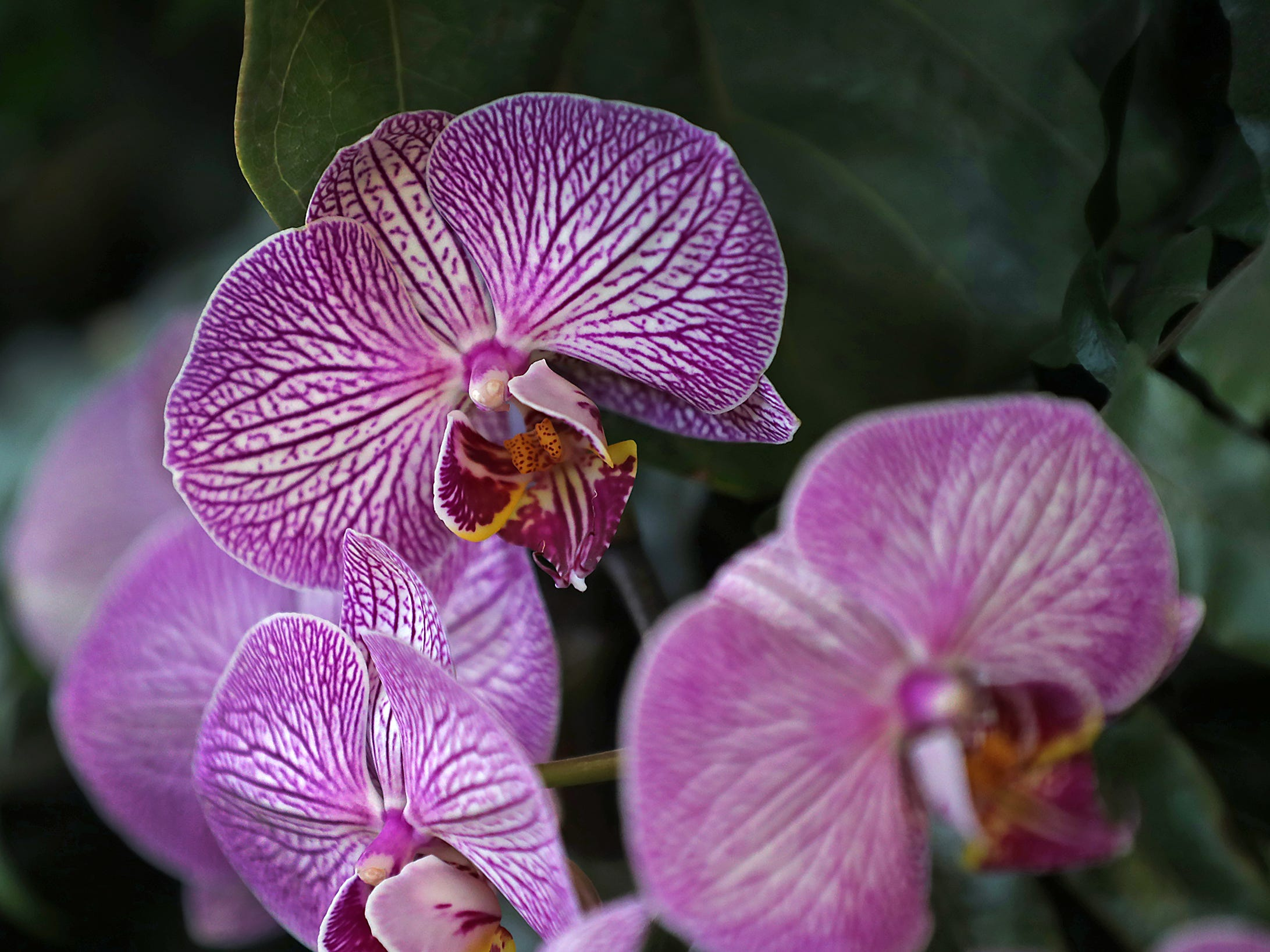 Orchids in a variety of colors are seen in one of the McNamara Florist Gardens at the Indiana Flower + Patio Show, at the Indiana State Fairgrounds, Sunday, March 10, 2019.